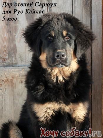 Ss.com Животные - Собаки, Щенки, Цены. Щенок, Представитель