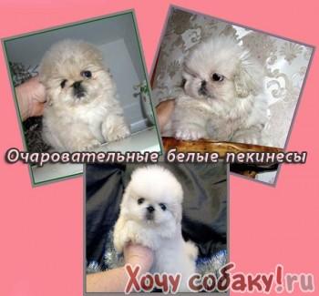 Продаются милые щенки белоснежного
