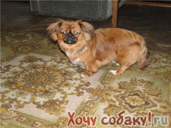 Найдена собака.  Предположительно метис пекинеса.