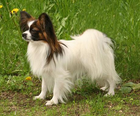 Фотография собаки породы папильон из