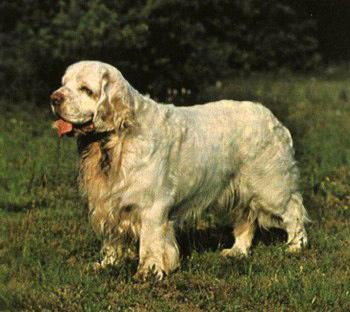 Собака Бостонтерьер описание породы фото цена щенков