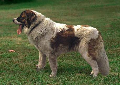 Фотография собаки породы московская