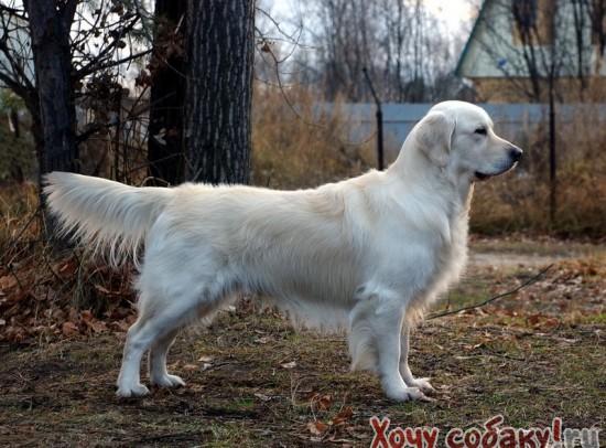 знакомство при вязке собак